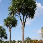 cabbage tree for riparian planting